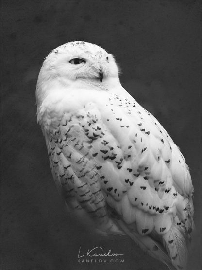 Snowy owl photography print