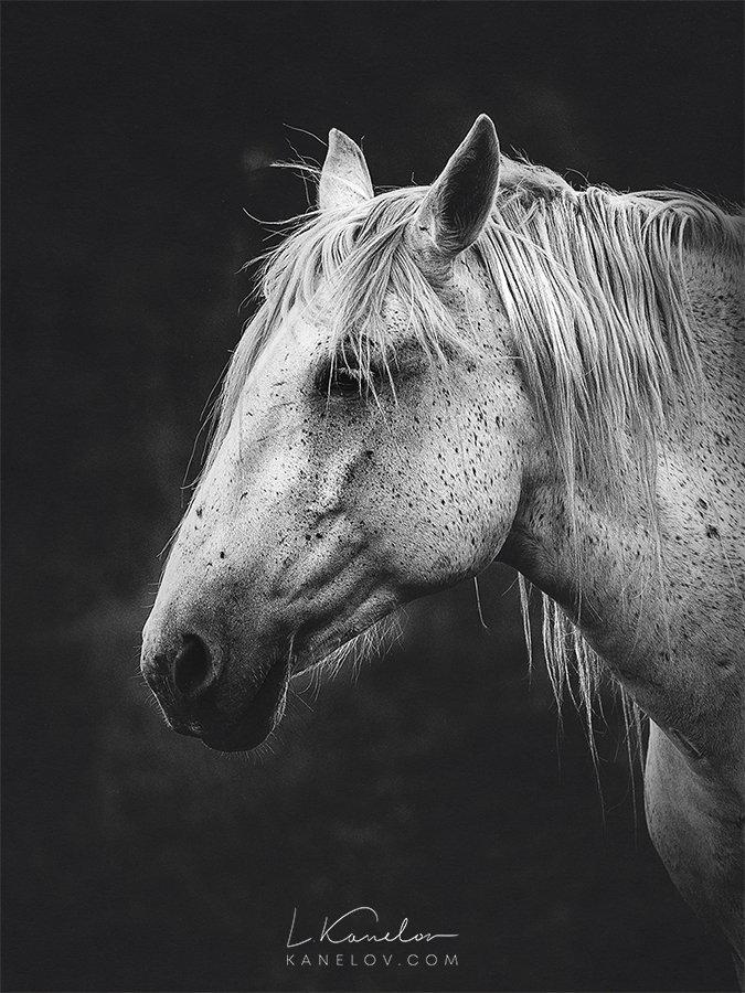 White Horse Fine Art Print By Luke Kanelov Unframed Luke Kanelov