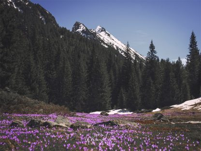 Crocuses in the spring mountain