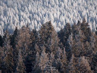 Snowy pine trees landscape