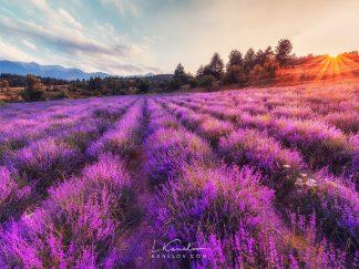 Lavender Field landscape