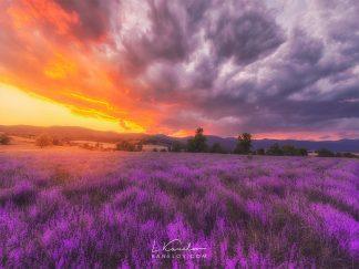 Lavender field at sunset landscape print