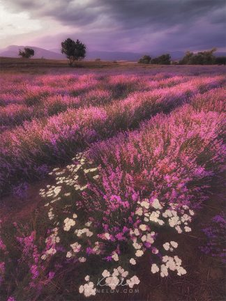 Lavender field in purple