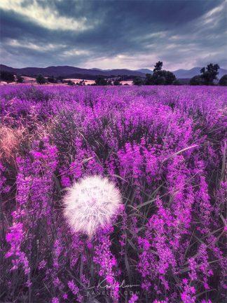 Dandelion in the Lavender Field