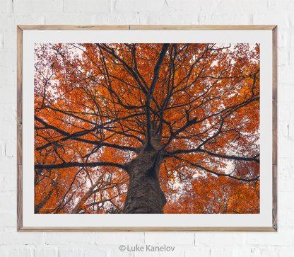 Orange autumn tree photography