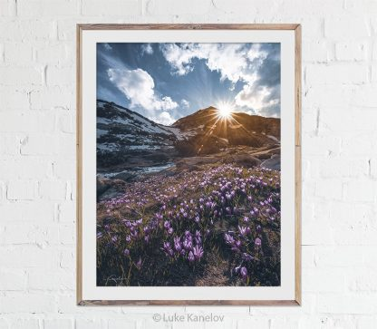 Sunset in the mountain, crocuses meadow